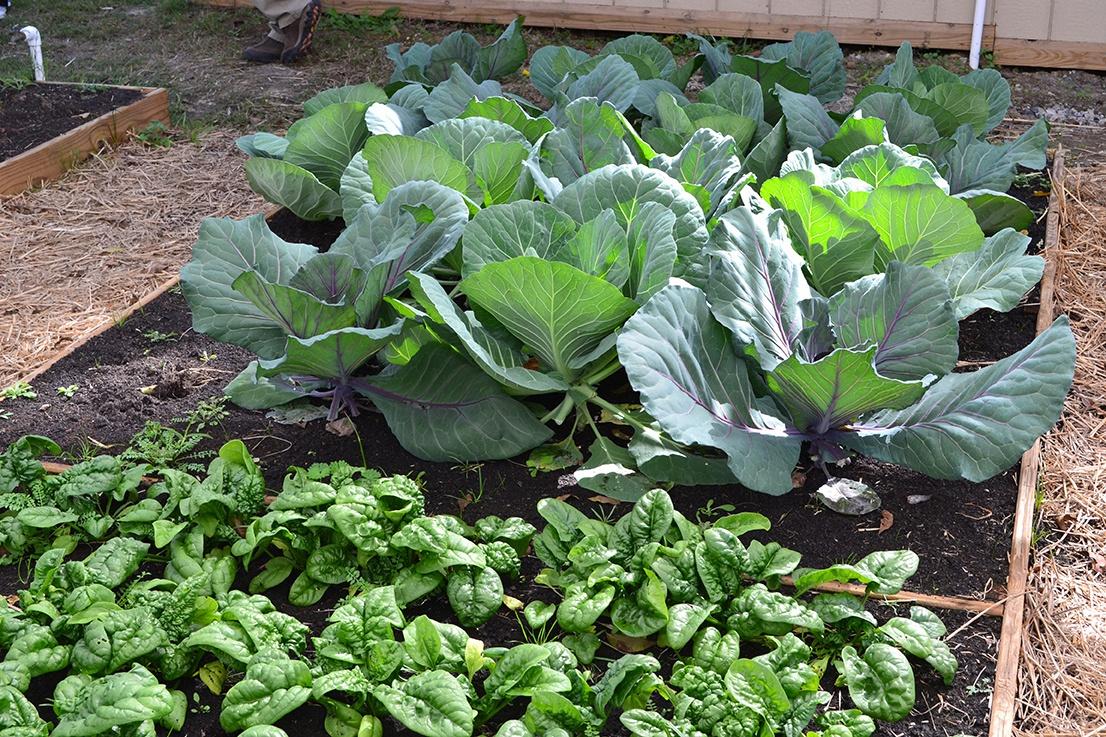 spinach in Soil3.jpg